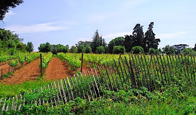 The vineyards on Ile Saint-Honorat