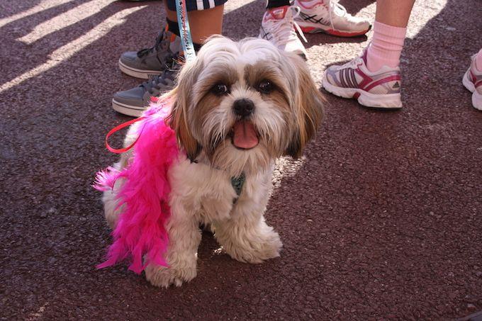 Dog at 2014 Pink Ribbon Monaco annual walk