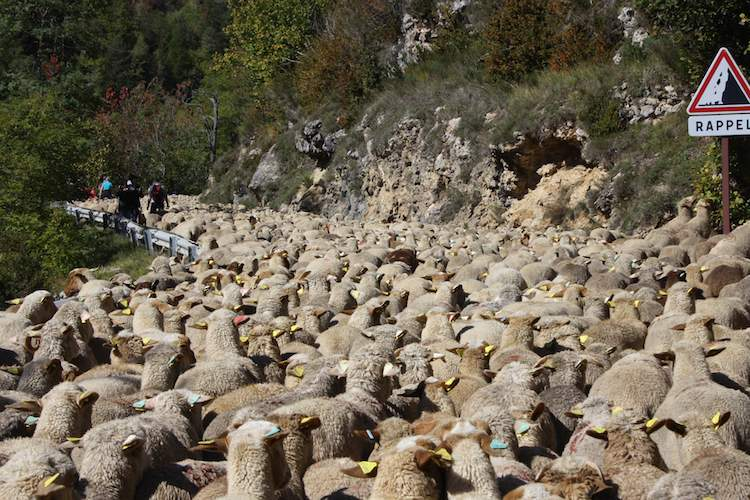 Flocks of sheep in Roubion